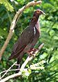 Patagioenas squamosa in Barbados a-11 (cropped).jpg