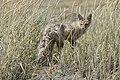 Patagonian grey fox - Parque Pinguino Rey 03.jpg