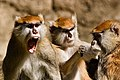 Patas monkey group.jpg