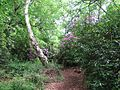 Path through Fritton Wood - geograph.org.uk - 806149.jpg