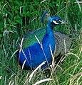 Peafowl - DSC004982.jpg
