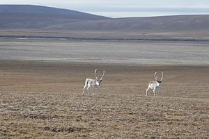 Qausuittuq National Park - Image: Peary caribou looking west towards Evan's Bay