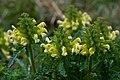 Pedicularis canadensis Arkansas.jpg