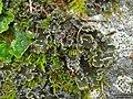Peltigera collina (Ach.) Schrad 109163.jpg