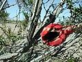Peniocereus greggii fruit.jpg