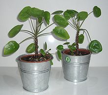 pilea peperomioides wikipedia. Black Bedroom Furniture Sets. Home Design Ideas