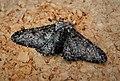Peppered Moth (Biston betularia) form insularia (48288417412).jpg