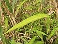 Persicaria odorata subsp. conspicua 4.JPG