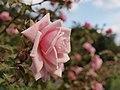 Petřín, Růžový sad, růže.jpg