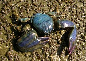 Petrolisthes elongatus (New Zealand half crab).JPG