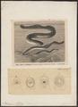 Petromyzon spec. - 1700-1880 - Print - Iconographia Zoologica - Special Collections University of Amsterdam - UBA01 IZ14300007.tif