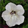Petunia al cuadrado (5713690562).jpg