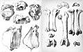 Pezophaps stalagmite.jpg