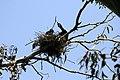 Phalacrocorax auritus nest 4.jpg