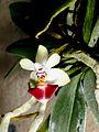 Phalaenopsis parishii Orchi 23572-1.jpg