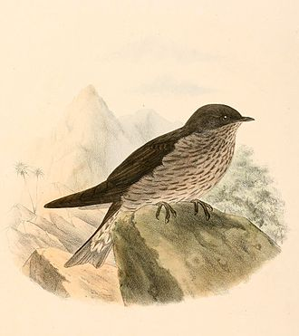 Mascarene martin - Mascarene subspecies by Claude W. Wyatt, 1894