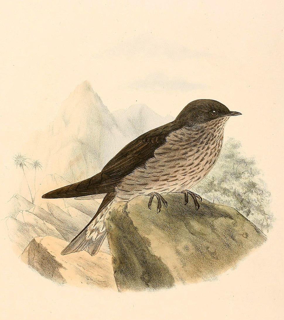 Phedina borbonica 1894