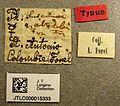 Pheidole susannae jtlc000015333 label 1.jpg