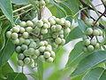 Phellodendron amurense2.jpg