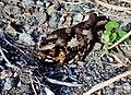 Philippine nightjar (caprimulgus manillensis).JPG