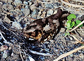 Description de l'image Philippine nightjar (caprimulgus manillensis).JPG.