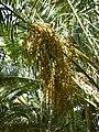 Phoenix canariensis - date palm - Dattelpalme - dattier - Oasis Park - Fuerteventura - 02.jpg