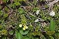 Phyllodoce aleutica and Kalmia procumbens.jpg