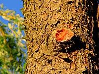 Picea-abies-norway-spruce-resin-n-bark-hdr.jpg