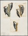Picus spec. - 1700-1880 - Print - Iconographia Zoologica - Special Collections University of Amsterdam - UBA01 IZ18700097.tif