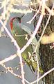 Picus viridis sharpei 065.jpg