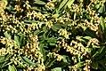 Pieris japonica Kavatine 0zz.jpg