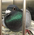 Pigeon racing survivor Esmerelda by Elizabeth Young.jpg