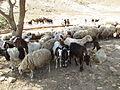 PikiWiki Israel 31579 Sheep in Pezael Valley.JPG