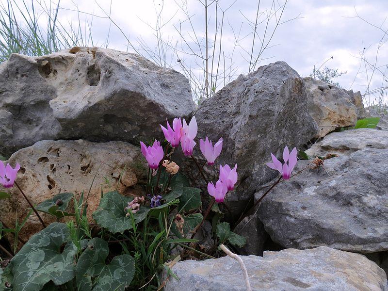 מתחת לסלע צומחת רקפת