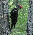 Pileatedwoodpecker2.jpg