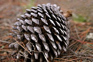 Pinus radiata - Pine cone on forest floor