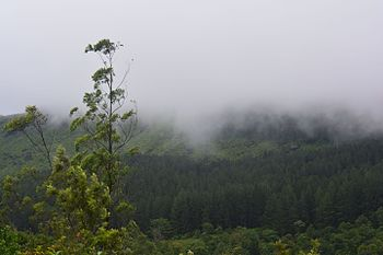Pine forests with clouds.jpg