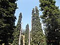 Pine trees - panoramio (4).jpg