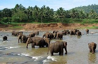 Pinnawala Elephant Orphanage Elephant orphanage in Sri Lanka