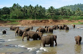 320px-Pinnawala_01 dans ELEPHANT