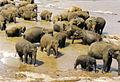 Pinnawella Elefanten.jpg