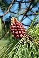 Pinus Engelmannii (4655910984).jpg