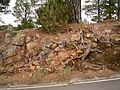 Pinus canariensis (Garafía) 03 ies.jpg
