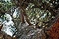 Pinus cembra, Zermatt (5065277644).jpg