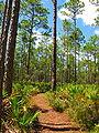 Pinus elliottii forest2.jpg