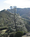 Pinus sabiniana Mount Diablo 1.jpg