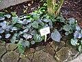 Piper ornatum - Berlin Botanical Garden - IMG 8686.JPG