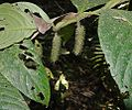 Piper phytolaccifolium (19168910248).jpg