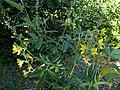 Piptanthus nepalensis kz04.jpg