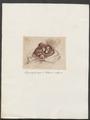Pithecus satyrus - 1700-1880 - Print - Iconographia Zoologica - Special Collections University of Amsterdam - UBA01 IZ19800007.tif